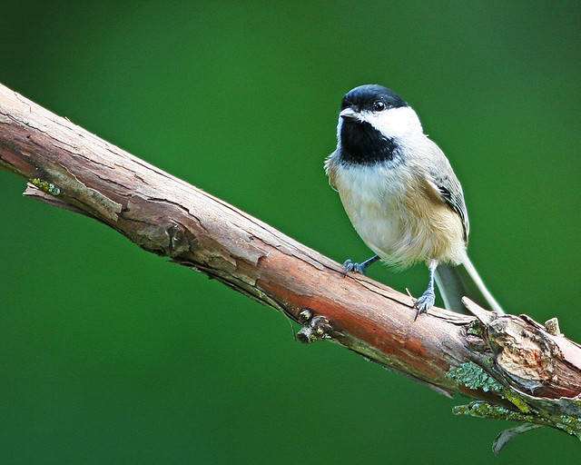 Carolina Chickadee_2550