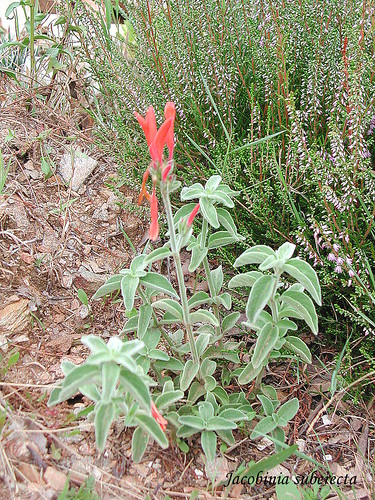 Jacobinia suberecta
