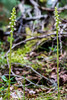 Creeping Lady's Tresses (Goodyera repens)