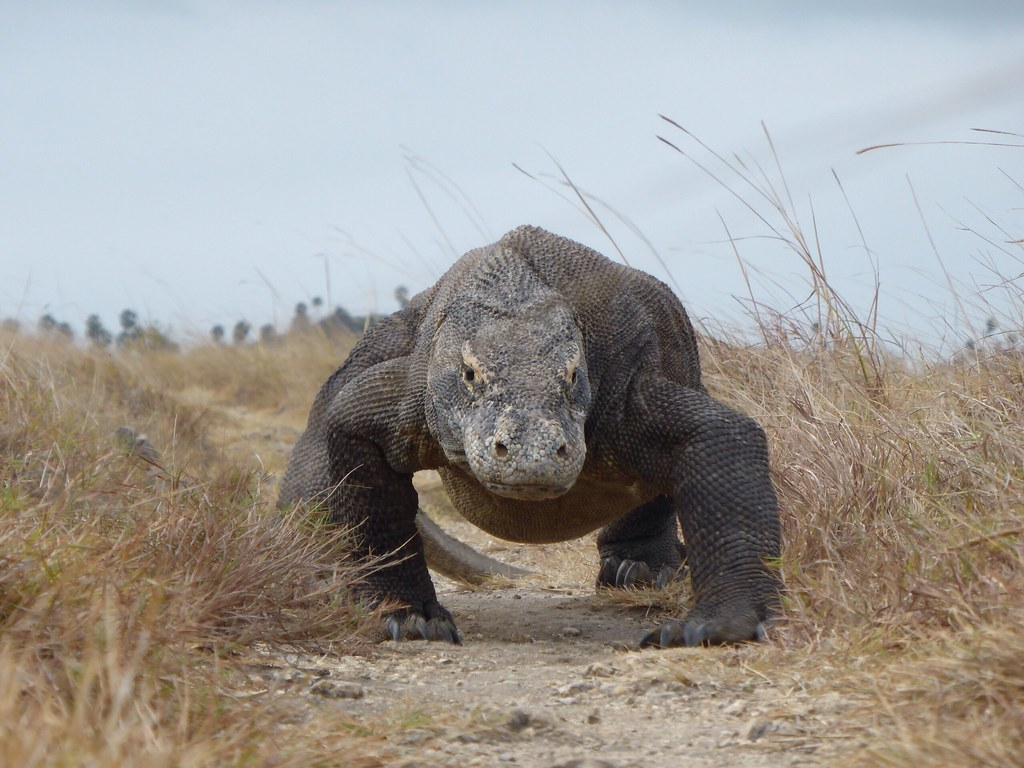 Visiting Rinca and Komodo