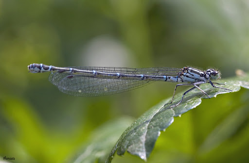 Coenagrion intermedium