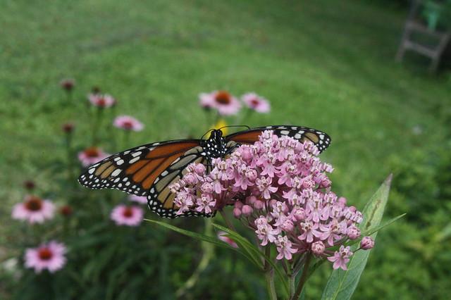 a Monarch Sighting!