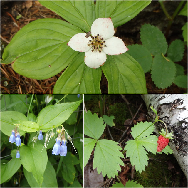 bunchberry, northern bluebells, wild strawberry