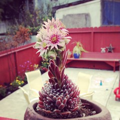 Sempervivum flowering in our backyard