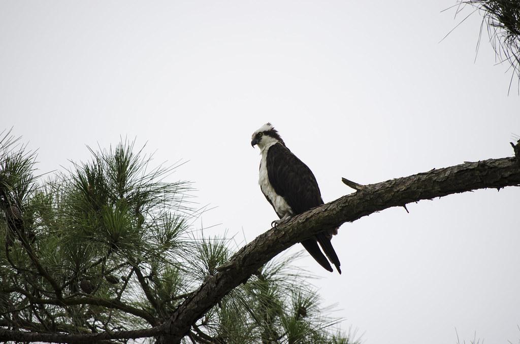 Papa Osprey