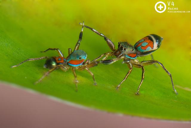 Siler semiglaucus mating dance