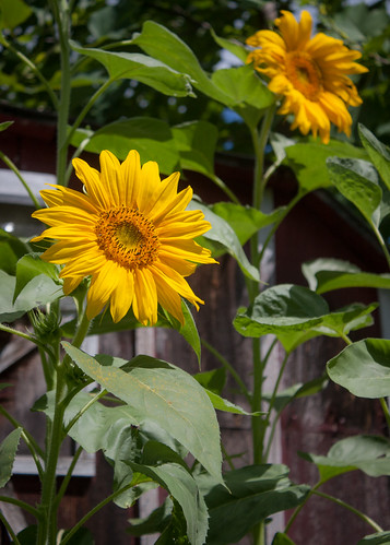 20d unitedstates kentucky sunflowers jamestown tennesseetrip 16july2014