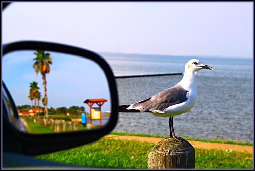 park usa bird water canon eos mirror wings colorful texas wildlife seagull shoreline feathers rearviewmirror perched waterfowl galvestonbay natureshot galvestoncounty coastalphotos eosrebelt1i baclifftexas ipiccy