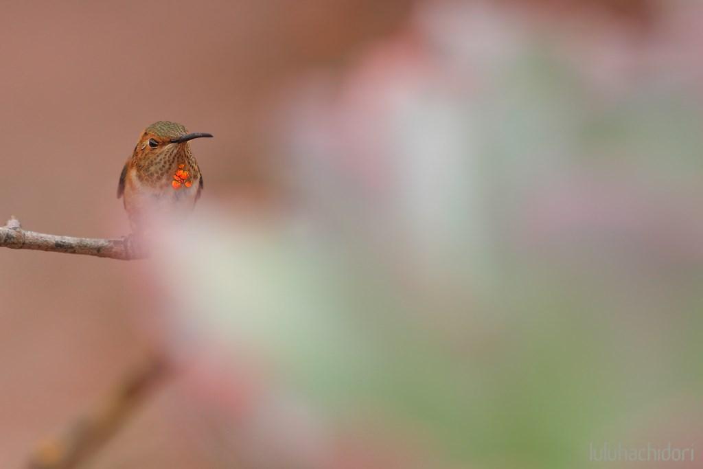 imamture male Allen's Hummingbird 080814