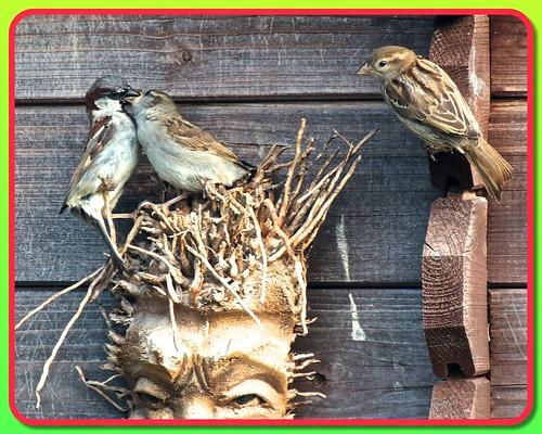 Sparrow Family 04