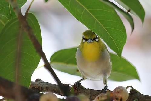 城市中的鳥類依靠大樹棲息。(來源:正面鳥 FrontBirdTaiwan)