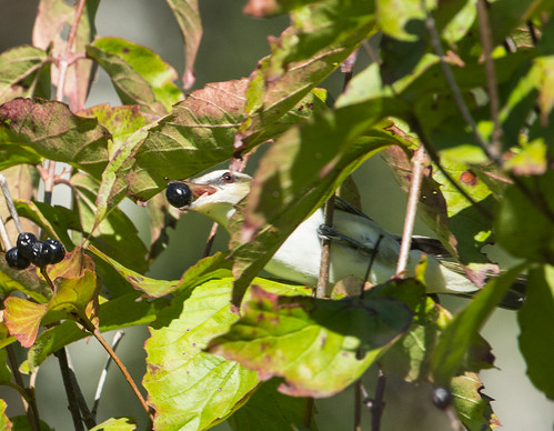 Red-eyed Vireo