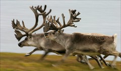 animal, antler, deer, horn, fauna, elk, wildlife, reindeer,