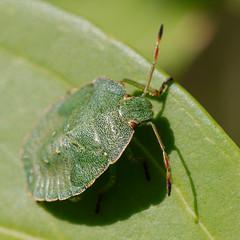 arthropod, animal, leaf, invertebrate, insect, macro photography, green, fauna, close-up, leaf beetle,