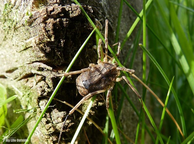 P1080946 - Harvestman Spider