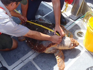 A National Park Service agent aboard a Coast Guard 24-foot Special Purpose Craft from Station Oregon Inlet, North Carolina measures a loggerhead sea turtle near the Bonner Bridge, Sunday, Aug. 31, 2014. The Coast Guard crew brought the agent to help untangle the turtle from a line dragging a plastic bucket after a good Samaritan boater reported the distressed sea turtle to the Coast Guard. (U.S. Coast Guard photo by Petty Officer Matt Strucic)