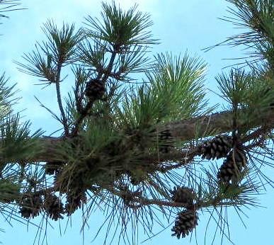 branches pinusstrobus easternwhitepine groupsoftwo stokesdalenc smallpinecones summer2014 longstraggly tuftsofpineneedles