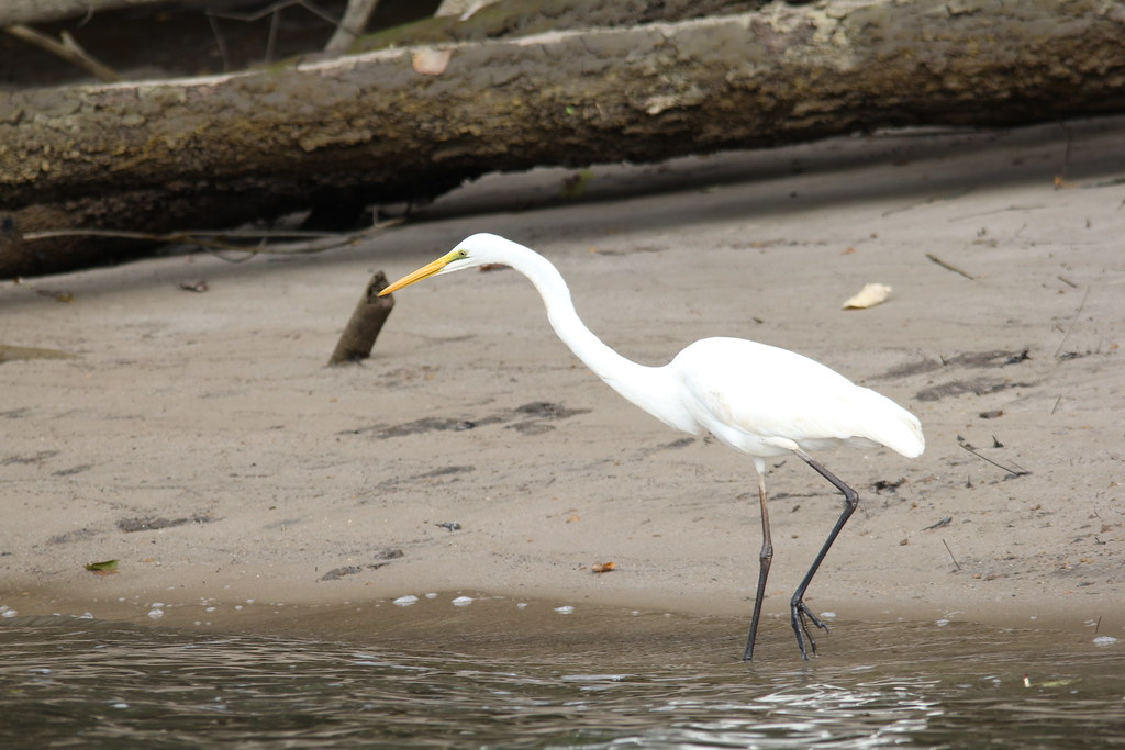daintree, daintree river, solar whisper, saltwater crocodile, dusty, elizabeth, scarface, azure kingfisher, little pied cormorant, great egret, intermediate egret