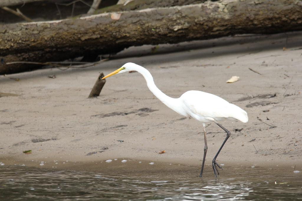 daintree, daintree river, solar whisper, saltwater crocodile, dusty, elizabeth, scarface, azure kingfisher, little pied cormorant, great egret, intermediate egret