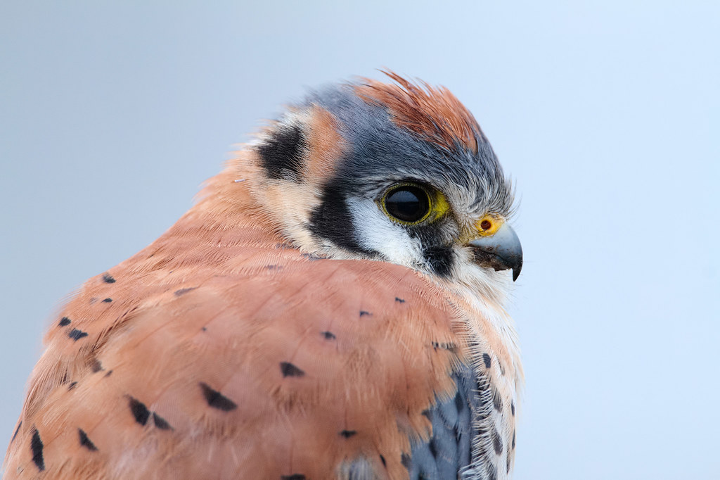 A close-up view of a male American kestrel