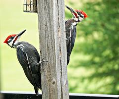 animal, wing, fauna, woodpecker, beak, bird,