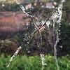 Silver argiope, making an X with its stabilimenta.  #iphone5 #argiope #arachnid #Xmarksthespot #silverargiope #argiopeargentata #spider #spiderweb #web #nature #natgeo #whoa