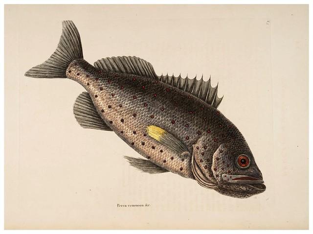 012- Perca venenosa-Natural History of Carolina, Florida and the Bahama Islands-Vol2-1754