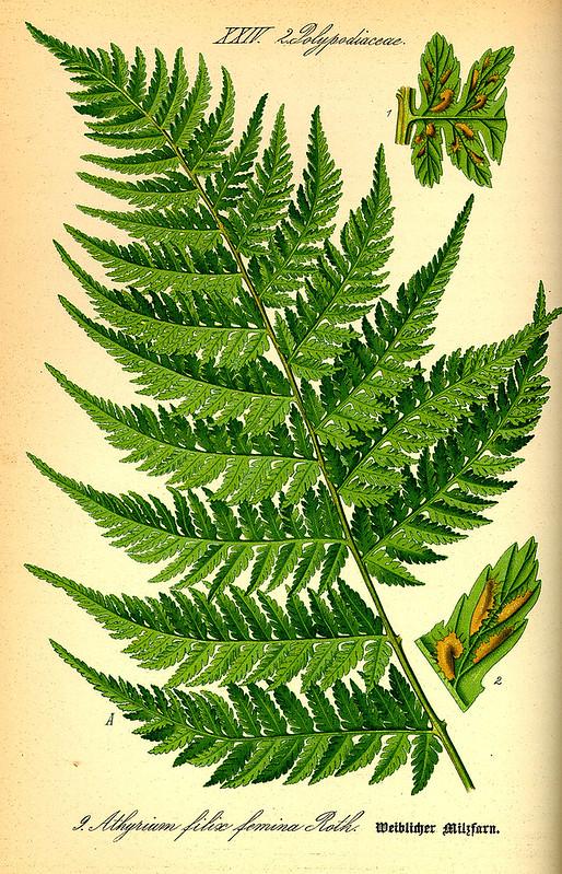 Athyrium filix femina