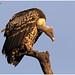 The Golden Vulture! by MAC's Wild Pixels