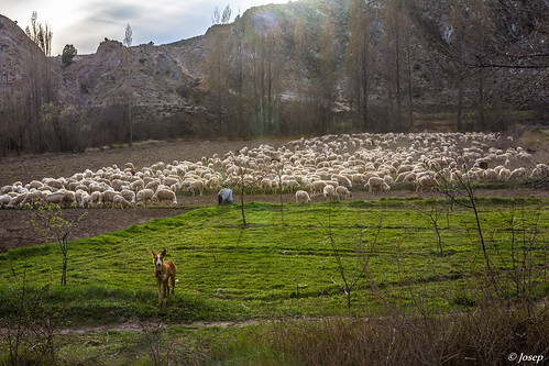 Pasturant les ovelles. / Pastoreando las ovejas.