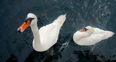 Gulbė nebylė (Cygnus olor)  Mute Swan –   DSC08724