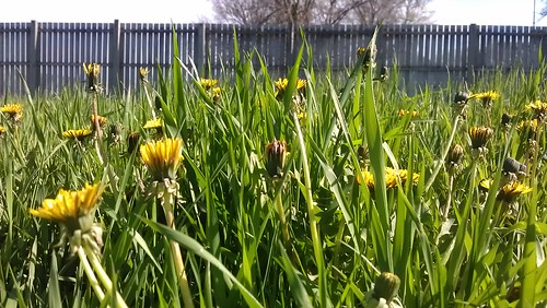 Dandelions and Grass...