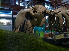 Dugong, Grant Museum, UCL
