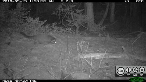 雪山黑森林,白鼻心。攝影:東海大學生命科學系野生動物生態研究室