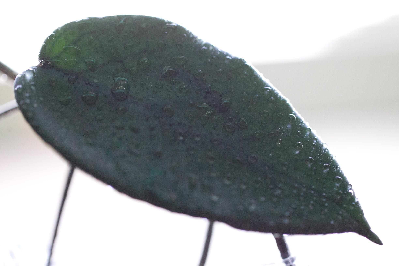 Hoya dasyantha
