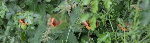 """""""Oak"""" or """"Northern"""" eggar moth (composite)"""