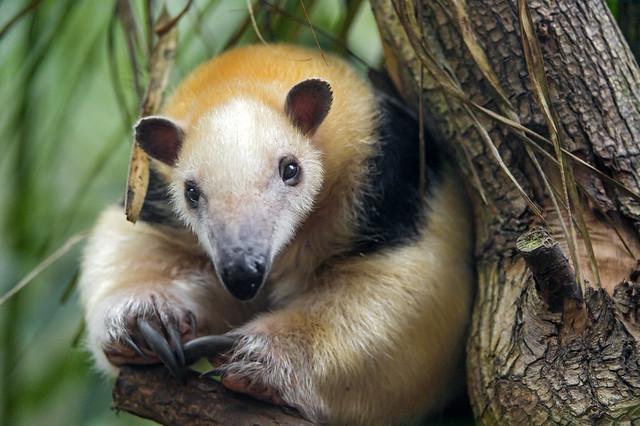 Tamandua in a cute position
