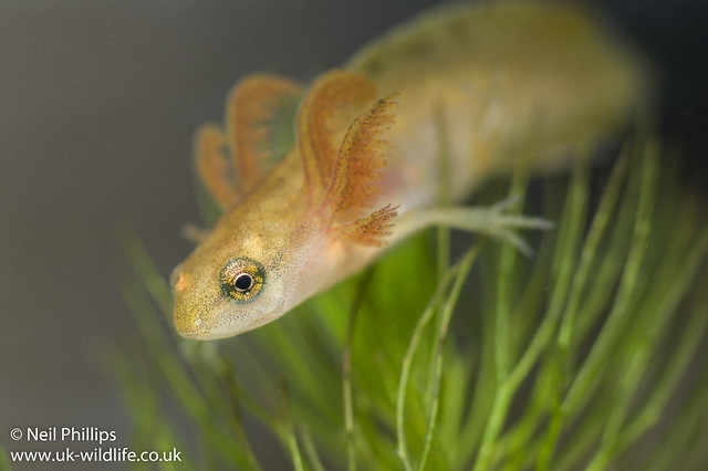 smooth newt tadpole