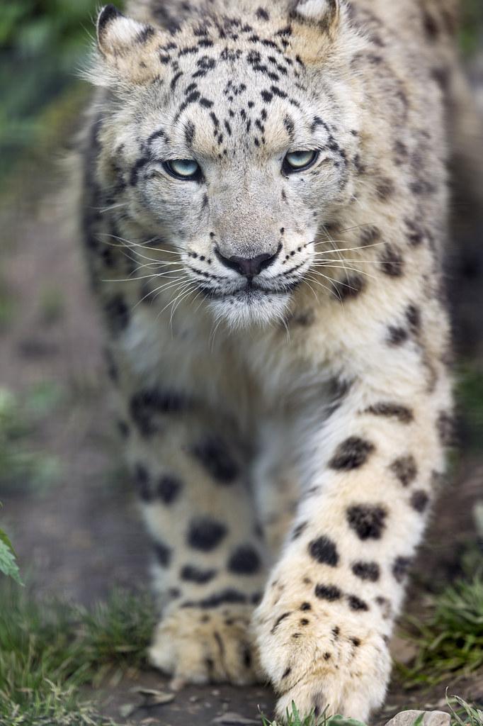 Approaching snow leopard
