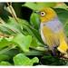 silvereye-bird by 2minutes