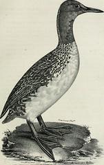 "Image from page 382 of ""La galerie des oiseaux"" (1834)"