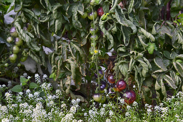 Tomatoes (Solanum lycopersicum 'Ozark Sunset') are ripe in the Herb Garden. Photo by Morrigan McCarthy.