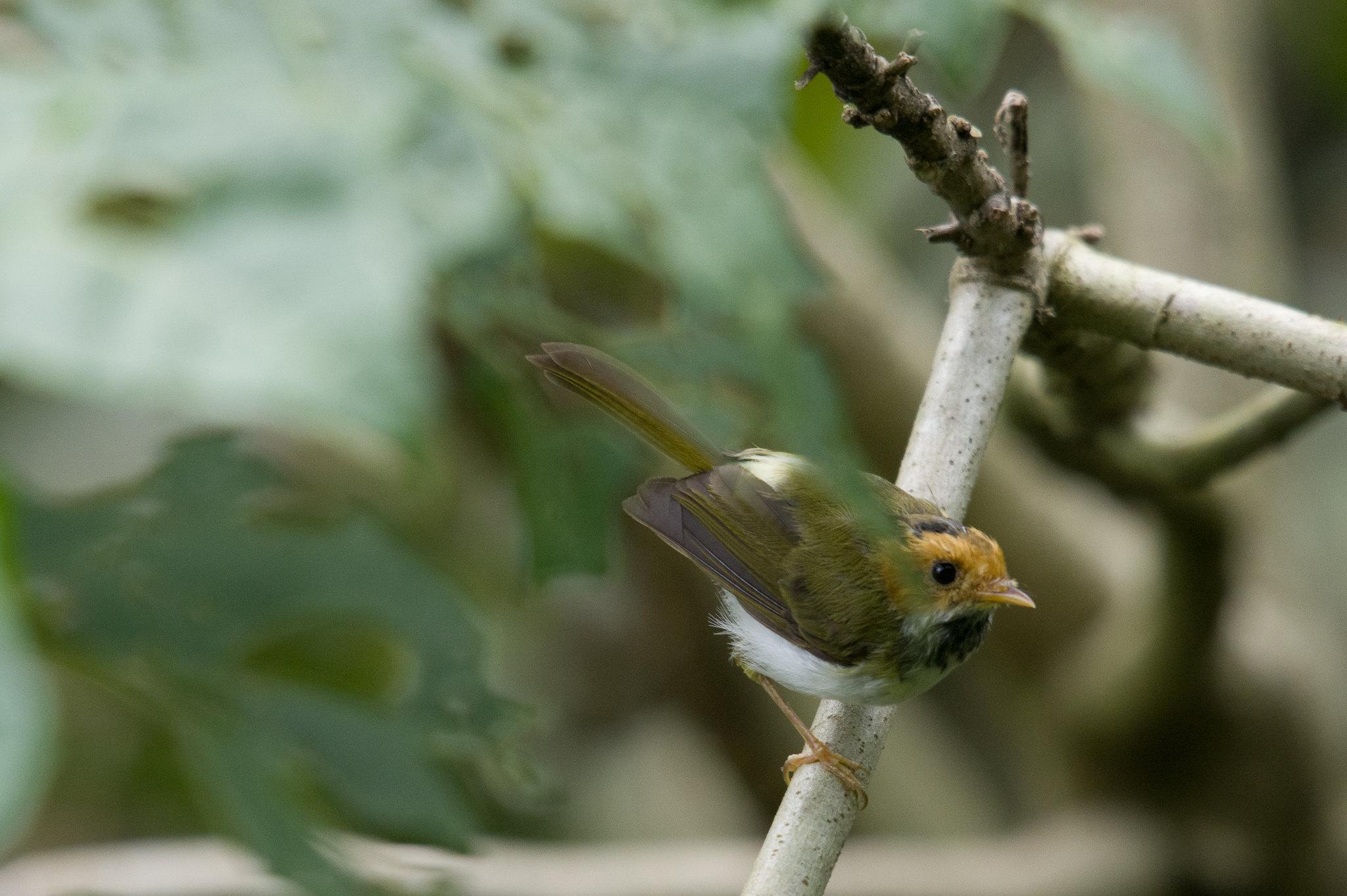 樹蔭下的棕面鶯