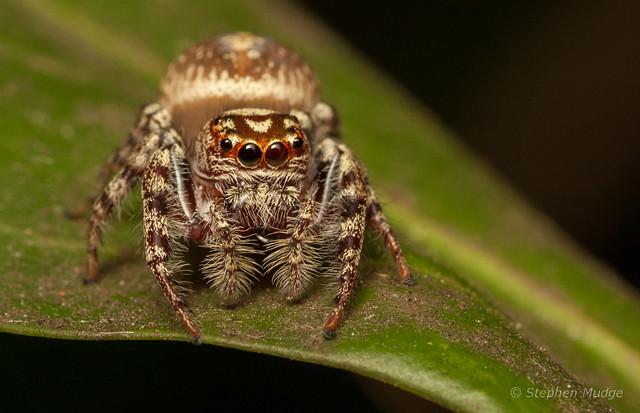 Opisthoncus sp.