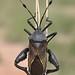 Giant Mesquite Bug, Thasus neocalifornicus