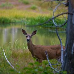 Lassen Deer