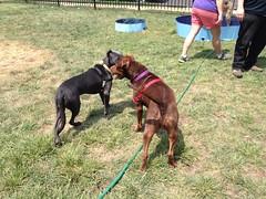 dog breed, animal, dog, dobermann, pet, mammal,