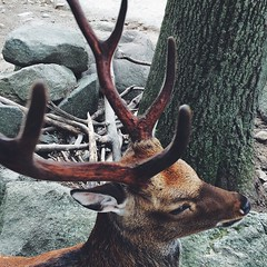 animal, antler, deer, horn, fauna, white-tailed deer, elk, wildlife,