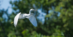 Aigrette garzette Egretta garzetta  Little Egret