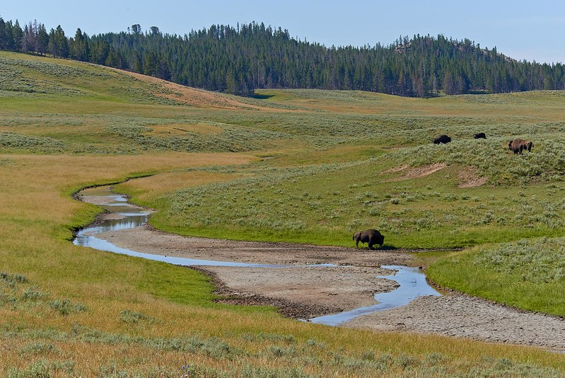 Bisons in Hayden Valley - Yellowstone National Park